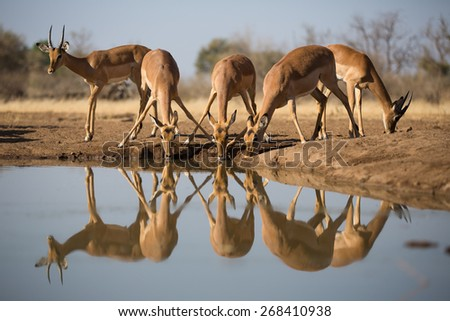 A low-angle, horizontal, colour photograph of a small herd of impala drinking at a waterhole. - stock photo