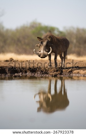 A low angle, vertical, colour photo of a large warthog beside a waterhole, his reflection rippling in the water. - stock photo