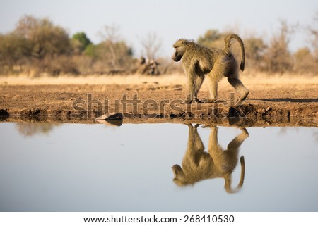 A low angle, vertical, colour photo of a male baboon and his reflection in a waterhole - stock photo