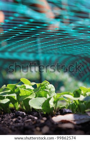 A low angled image of the first shoots of radish plants, growing in an urban city garden under the cover of a green plastic protective mesh.
