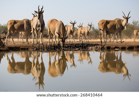 A low level, horizontal, colour photo of a herd of thirsty eland and their reflections in the water. - stock photo