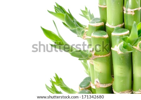 A lucky bamboo plant on a white background