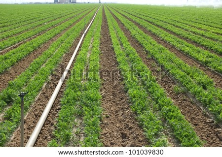 A lush field of carrots must be irrigated in California's dry San Joaquin Valley - stock photo