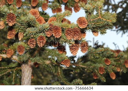 A lush young Sitka spruce tree laden with new seed cones with a blue sky