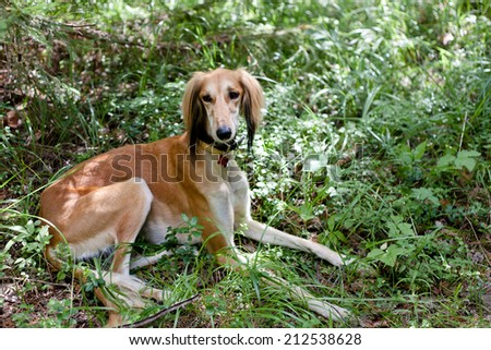 A lying brown saluki in green grass