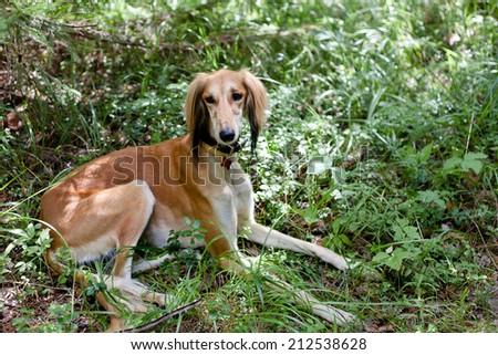 A lying brown saluki in green grass  - stock photo
