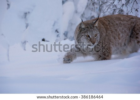 A lynx in the cold winter and much snow in Norway. A Lynx lynx, Eurasian lynx with spots, so called cat lynx. Looking for food. - stock photo