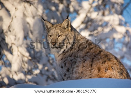 A lynx sitting in the forest/much snow in Norway. A Lynx lynx, Eurasian lynx/cat lynx with spots. - stock photo