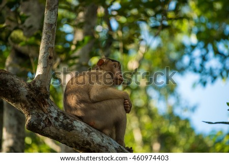 A macaque in the jungles of Borneo along the Kinabatangan River.
