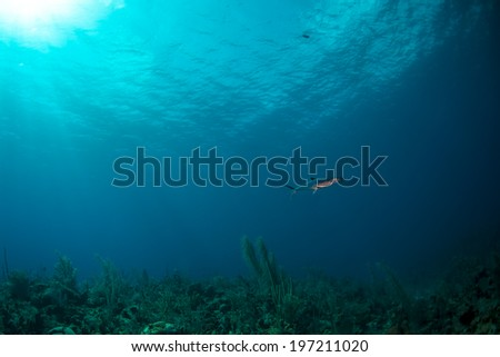 A mackerel swimming over the reef - stock photo