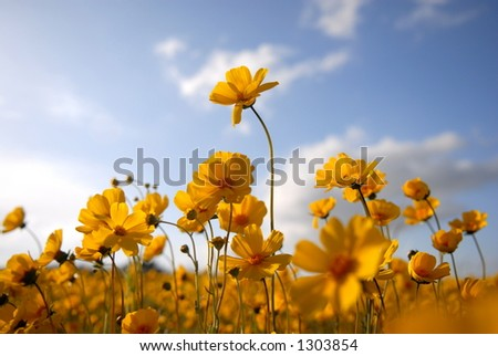 "A  macro ""bug's eye view""  of a field of bright yellow wildflowers."
