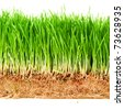 A macro closeup of wheat grass growing from the roots - stock photo