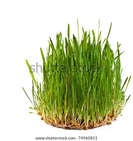 A macro closeup of wheat grass growing from the roots in the ground of dirt and soil isolated on a white background - stock photo