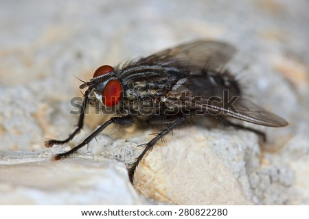 A macro image of a large house fly with reg eyes sitting on a white rock. - stock photo