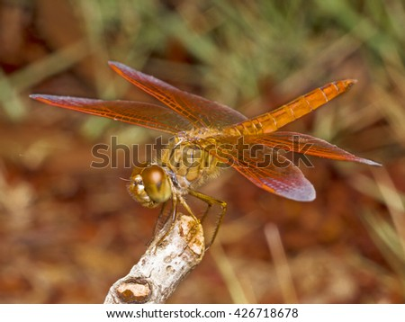 A Macro Insects Photography of Red Dragonfly spreading Wings  with Blurred Nature Background staying on dried Branch of Tree in Public Park. - stock photo