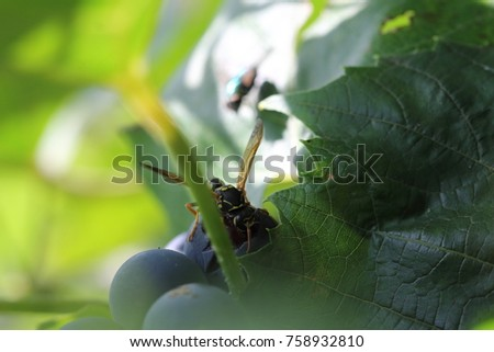 a macro of a wasp eating grape fruit. a detailed snapshot of the insect pest. gluttonous pest on agricultural plants.