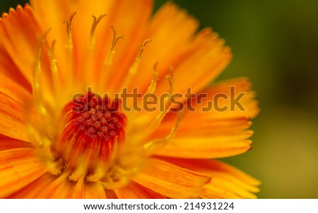 A macro or close-up photo of an orange and yellow Fox-and-cubs Wildflower - stock photo