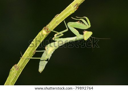 a macro photography of mantis