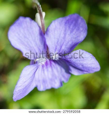 A macro shot looking down at a dog violet. - stock photo