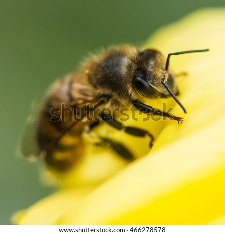 A macro shot of a bee climbing over an evening primrose bloom.