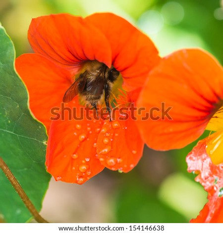 A macro shot of a bee feeding from a nasturtium bloom. - stock photo