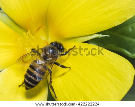 A Macro Shot of a Bee on Yellow Flower for Pollination as a Flower Nature Backgrounds. - stock photo