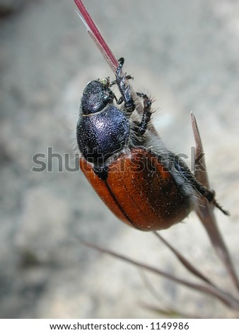 A macro shot of a beetle on a blade of grass. - stock photo