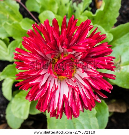 A macro shot of a bellis bloom. - stock photo
