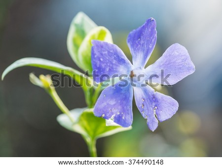 A macro shot of a blue periwinkle bloom. - stock photo