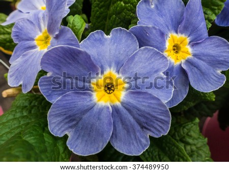 A macro shot of a blue primrose bloom. - stock photo