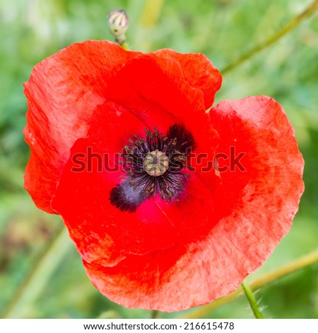 A macro shot of a bright red poppy. - stock photo