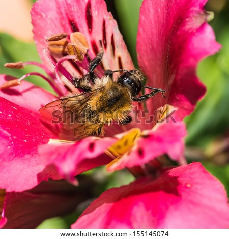 A macro shot of a bumblebee collecting pollen from an alstroemeria bloom.