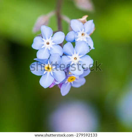 A macro shot of a collection of forget me not blooms.