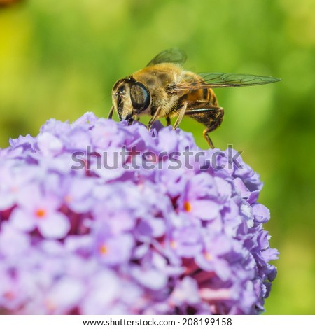 A macro shot of a drone fly collecting pollen from a buddleia bush. - stock photo