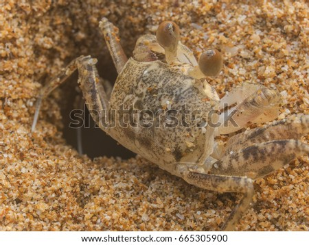 A macro shot of a ghost crab about to disappear into its sandy burrow on a beach near Trat, east Thailand
