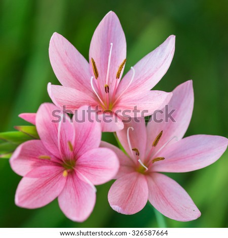 A macro shot of a group of small pink autumn flowering lilies. - stock photo