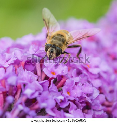 A macro shot of a hoverfly feeding from a buddleia bush.