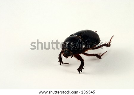 A macro shot of a large beetle, isolated. - stock photo