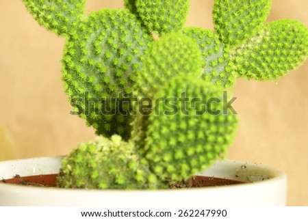 A macro shot of a lovely fresh potted cactus for the home decor. - stock photo