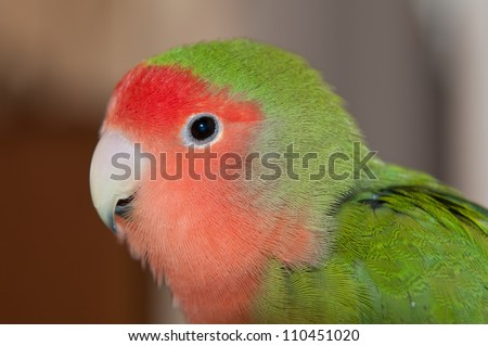 A macro shot of a peached-faced lovebird - stock photo