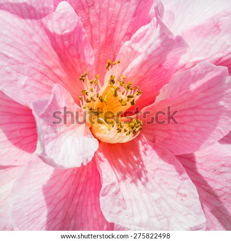 A macro shot of a pink camellia bloom. - stock photo