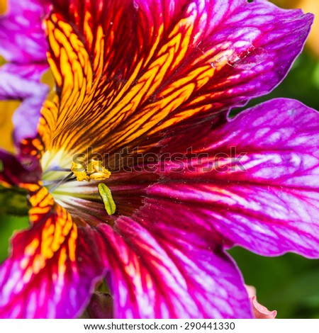 A macro shot of a purple and yellow salpiglossis bloom. - stock photo