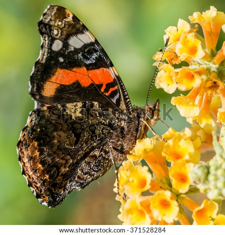 A macro shot of a red admiral butterfly collecting pollen from a butterfly bush. - stock photo