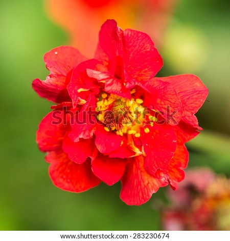 A macro shot of a red geum bloom. - stock photo