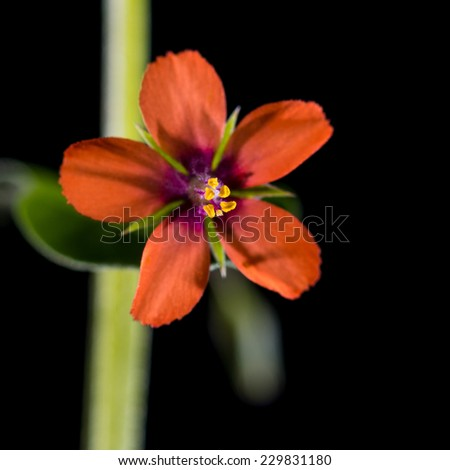 A macro shot of a scarlet pimpernel bloom shot against a black background. - stock photo