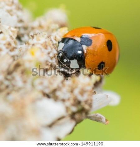 A macro shot of a seven spot ladybird collecting pollen from a yarrow bloom. - stock photo