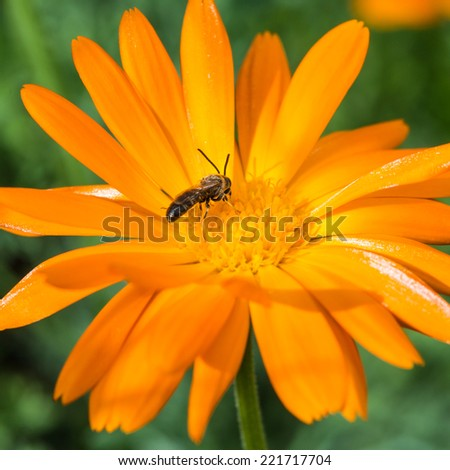 A macro shot of a small bee collecting pollen from a calendula bloom. - stock photo