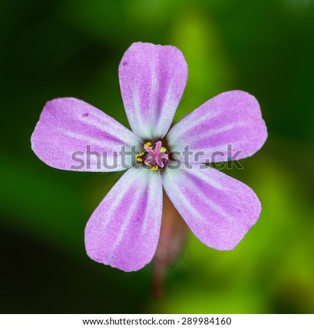 A macro shot of a small pink weed callen herb robert. - stock photo