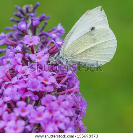 A macro shot of a small white butterfly feeding from a buddleia bush. - stock photo