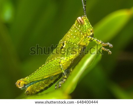 A macro shot of a spotted green grasshopper resting on a leaf after heavy rain, Thailand